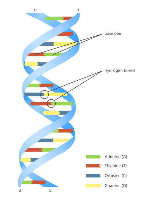 dna_double_helix_yourgenome